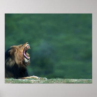 Uitzicht van een Leeuw die (leo Panthera) zijn mon Poster