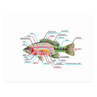 Van de de organen VectorKunst van vissen interne Briefkaart