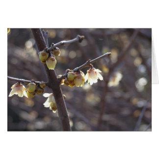 Van Wintersweet (Chimonanthus praecox) de kaart