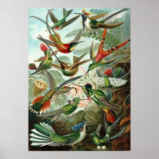 Verbazend kolibriesAfbeelding door Ernst Haeckel Poster