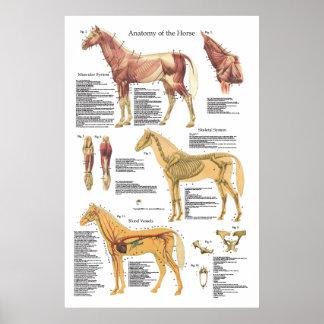 Veterinaire Grafiek van de Anatomie van de Spier Poster