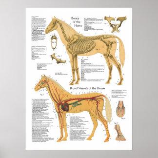 Veterinaire Grafiek van de Anatomie van het paard Poster