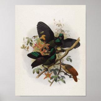 Victoriae van Ptiloris - de geweer-Vogel van Konin Poster
