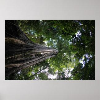 Vijgeboom in het regenwoud Tangkoko van Sulawesi Poster