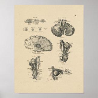 Vintage Anatomie 1880 van de Zenuwen van Hersenen Poster