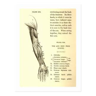Vintage Anatomie | Spieren van het Wapen (circa Briefkaart