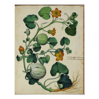 Vintage Botanisch Poster - de Pompoen van de