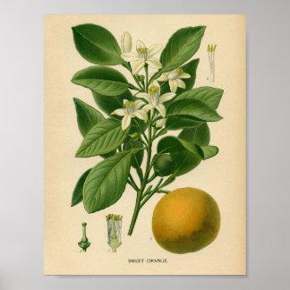 Vintage Botanisch Poster - Zoet Sinaasappel