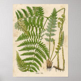 Vintage Botanische Druk - Adelaarsvaren/Varens Poster