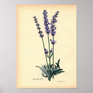 Vintage Botanische Druk - Lavendel Poster