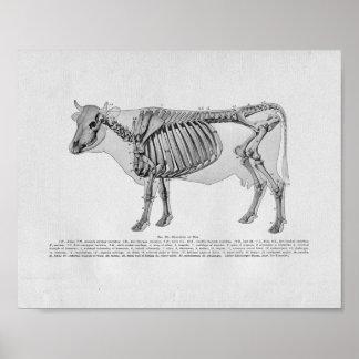 Vintage Druk van de Anatomie van de koe de Poster