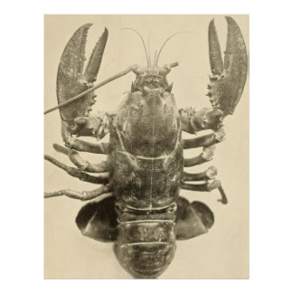 Vintage Foto van de Zeekreeft van Maine (1895) 2 Poster
