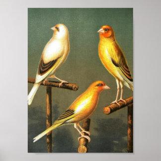 Vintage kunst-vogel-Eilanden-en-kooi-vogel-Distelv Poster