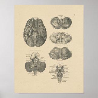Vintage Menselijke Anatomie 1880 van Hersenen Druk Poster