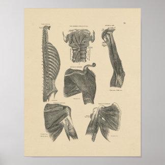 Vintage Menselijke Anatomie 1880 van Spieren Druk Poster