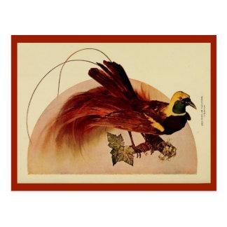 Vintage rode lithofoto van de paradijsvogel kleur briefkaart
