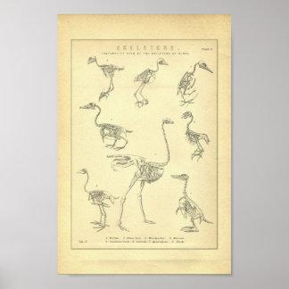 Vintage Skeletten van de Druk van Vogels Poster