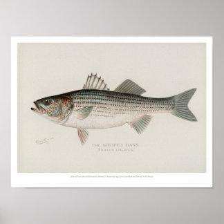 Vintage Vissen - Gestreepte Baarzen Poster
