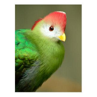 Vogel Turaco met rode kuif Briefkaart