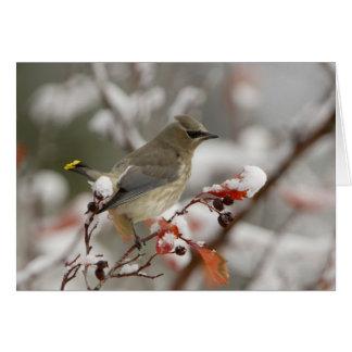 Volwassen Ceder Waxwing op haagdoorn met sneeuw, 3 Briefkaarten 0
