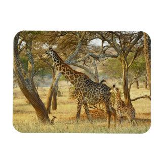 Volwassen vrouwelijke en jeugdGiraf, Giraffa Magneet