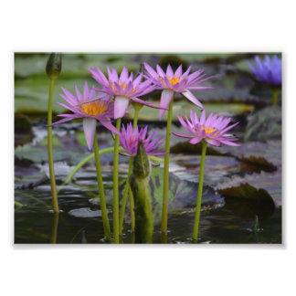 Waterlelies! Foto Afdruk
