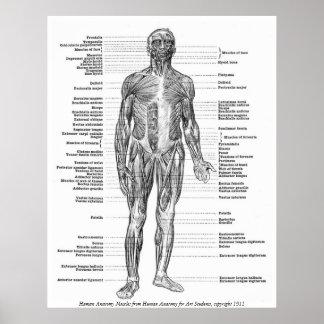 Wijnoogst - de Menselijke Spieren van de Anatomie Poster