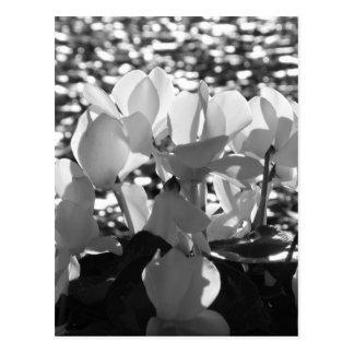 Witte de cyclaambloemen van Backlits op donkere Briefkaart