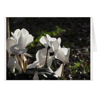 Witte de cyclaambloemen van Backlits op donkere Briefkaarten 0