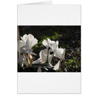 Witte de cyclaambloemen van Backlits op donkere Kaart