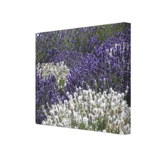 Witte Lavendel met Paarse Lavendel Canvas Print