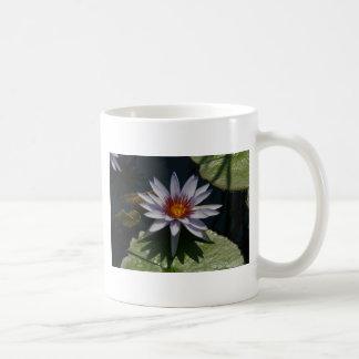 Witte Mok Waterlily