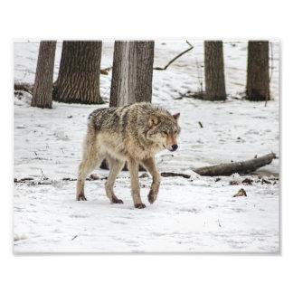 Wolf die in SneeuwBos loopt Foto Afdruk