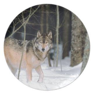 Wolf in het Fotografische Bord van de Sneeuw