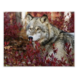 Wolf in rood gebladerte fotoafdruk