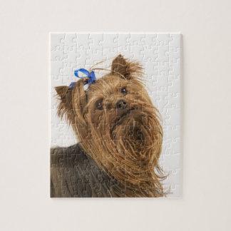 Yorkshire Terrier/Yorkie. Levendig ras van Puzzel