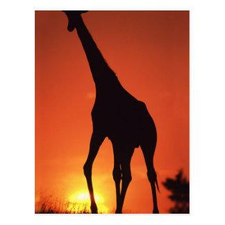 Zuid-Afrika, Kruger NP.  Giraf (Giraffa Briefkaart