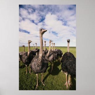 Zuid-Afrika, Uitzicht van struisvogel Poster